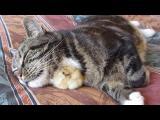 Kuře spí pod kočkou