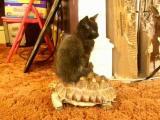 Kočka na želvě