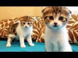 Kočičí dvojčata