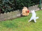 Kočka a slepice